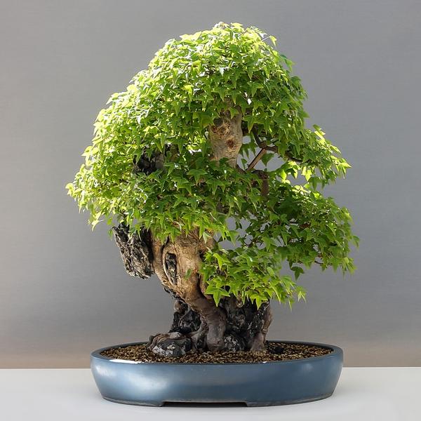 Concime per bonsai - Concime per bonsai giapponese, di qualità, utilizzato da appassionati e professionisti di tutto il mondo. Confezione 900 grammi.